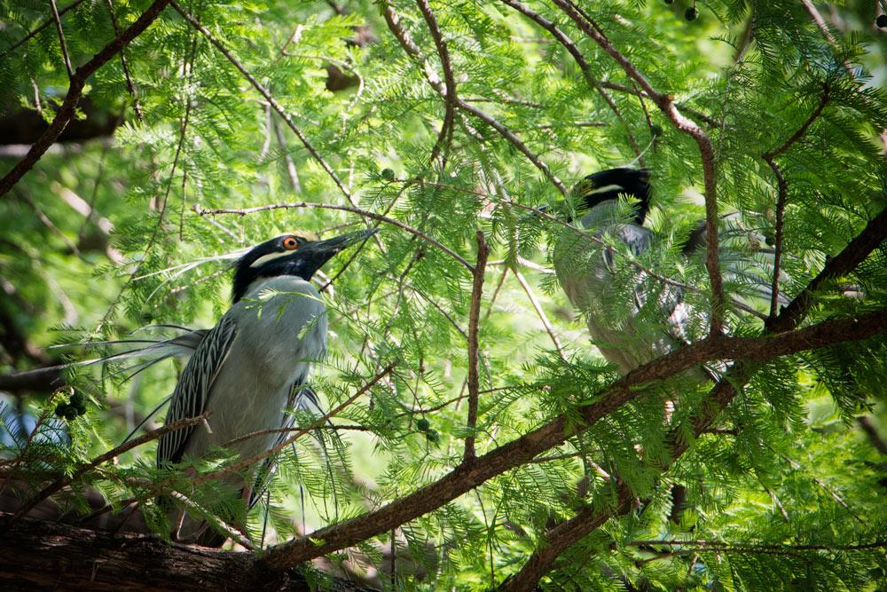 Yellow Crowned Night Herons - Displaying