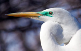 Great Egret - Close Up