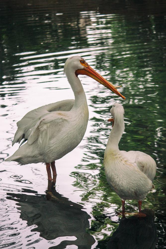 A Few Pelicans