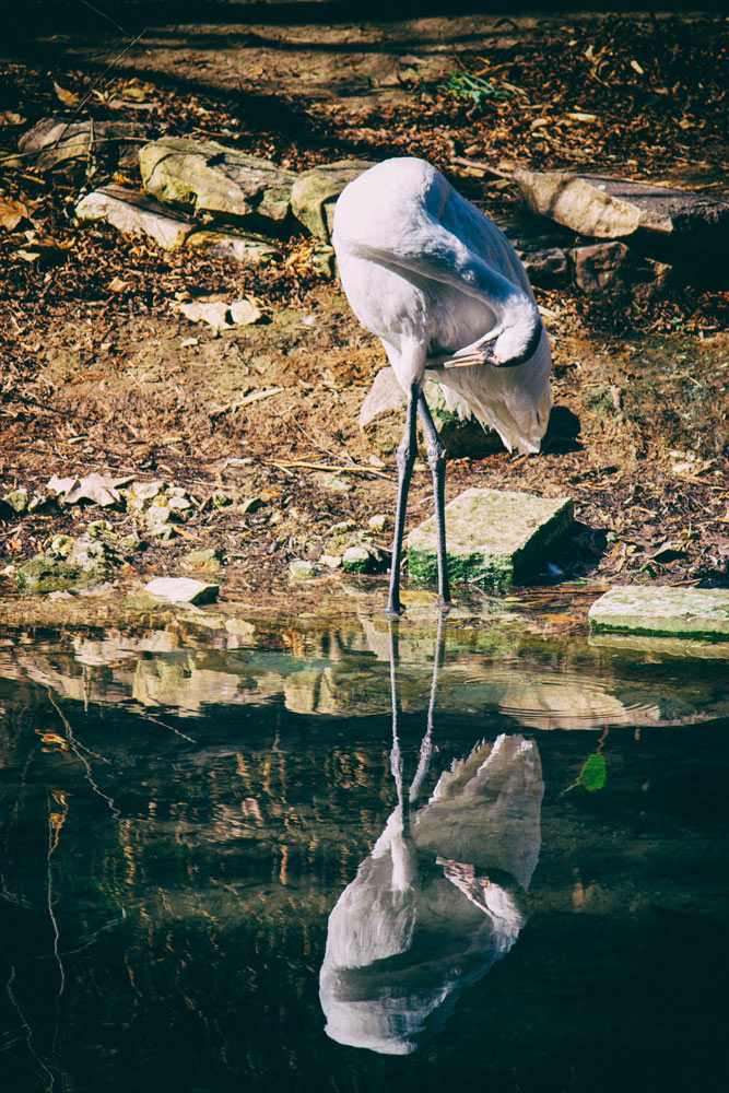 Great Egret - Preening