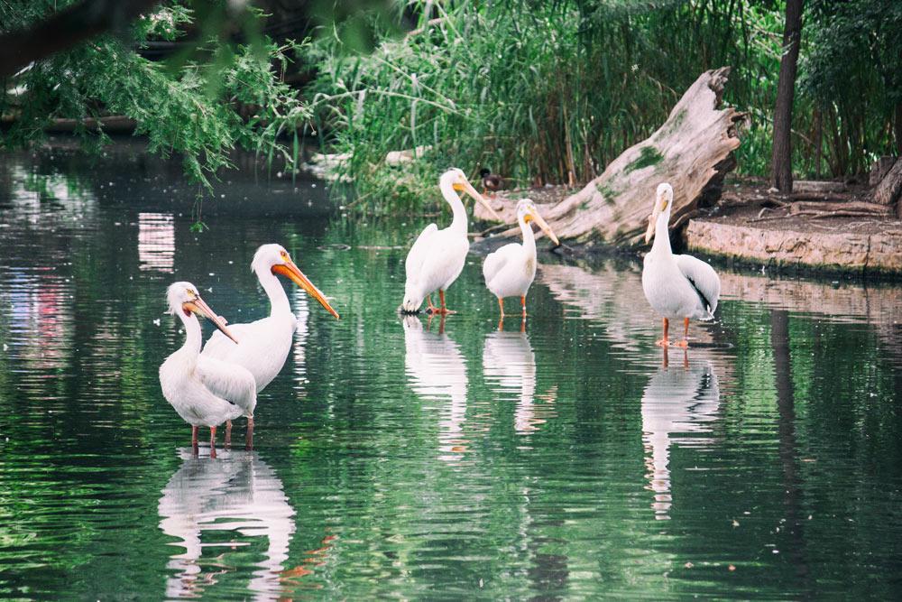 A Few More Pelicans
