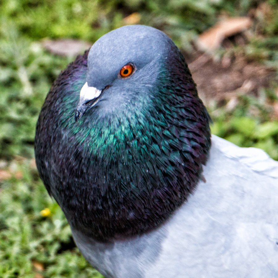 Pigeon - Puffy