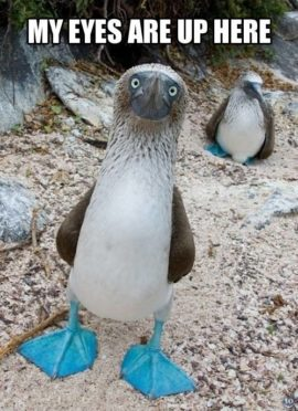 blue footed boobies