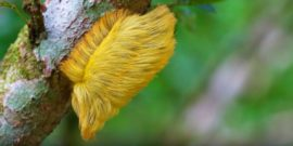 caterpillar hair wig
